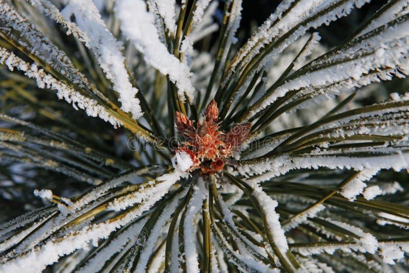 Teil des Tannenbaums am Winter lizenzfreies stockbild