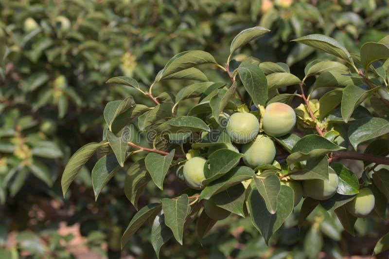 Teil eines Persimonebaums mit noch Grünfrüchten stockfoto
