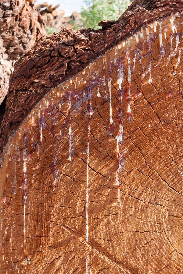 Teil Lärchendes quersägeschnittes mit Rieseln des verhärteten Harzes stockfotos