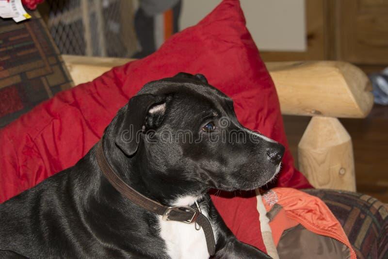 Teil Pit Bull Relaxing auf der Couch lizenzfreie stockfotos