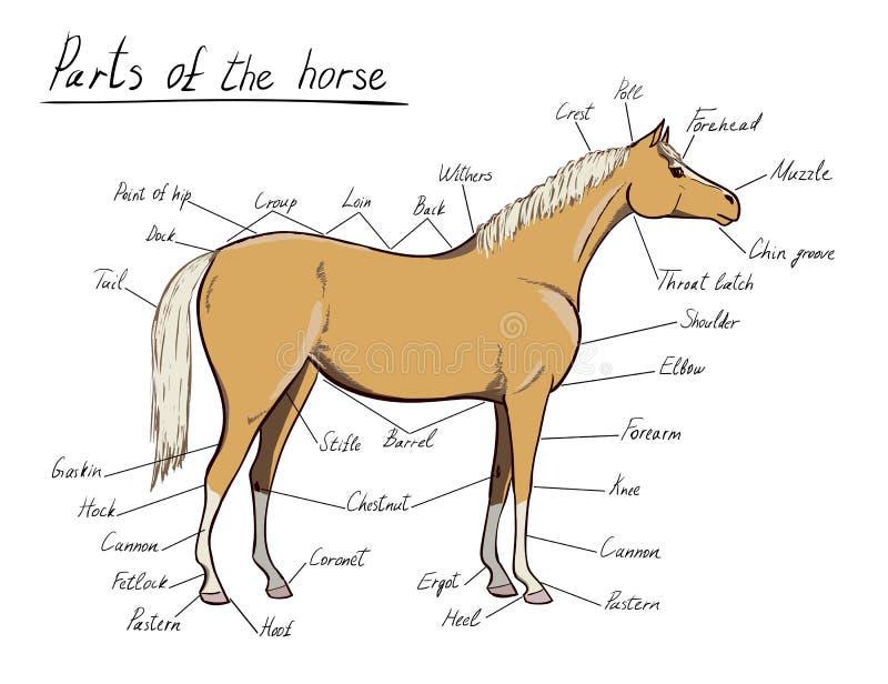 Gemütlich Die Anatomie Des Pferdes George Stubbs Bilder - Anatomie ...