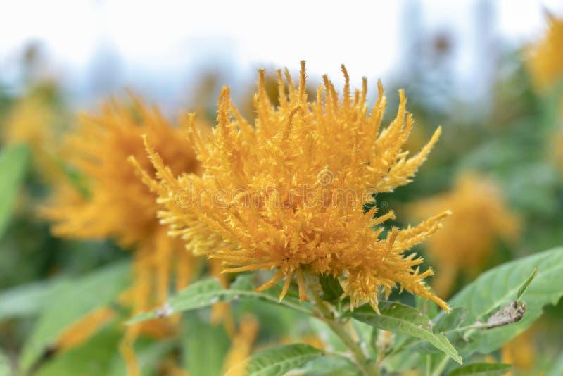 Teinture jaune de carthame de fleur Feuilles vertes, plan rapproché de fleur photo stock