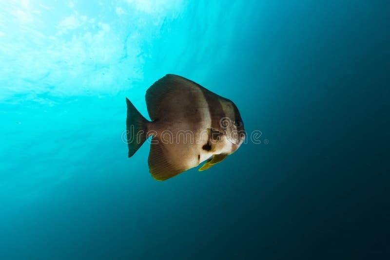 Teira Platax Batfish Teira в сини стоковое изображение rf