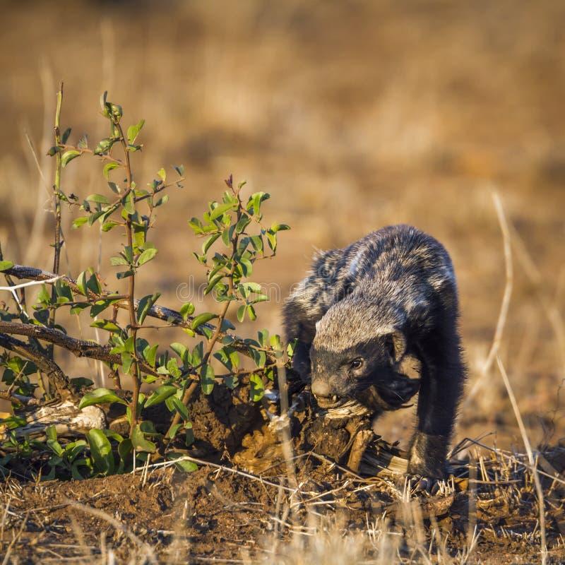 Tejón de miel en el parque nacional de Kruger, Suráfrica fotografía de archivo libre de regalías