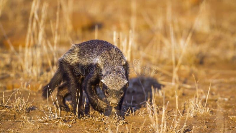 Tejón de miel en el parque nacional de Kruger, Suráfrica imágenes de archivo libres de regalías