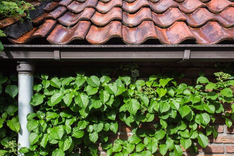Tejas de tejado viejas con la hiedra verde en la pared imagen de archivo