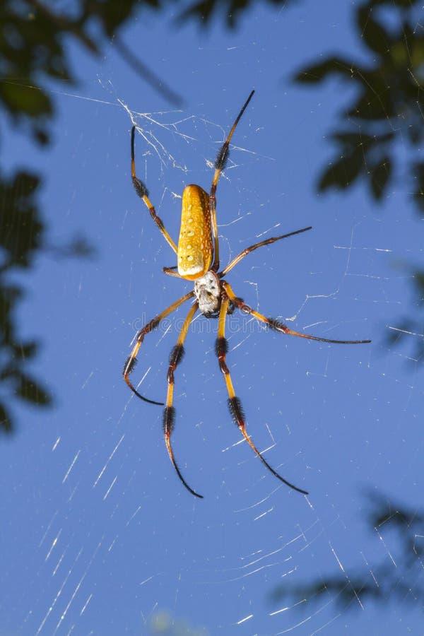Tejedor de seda de oro del orbe, o araña del plátano (clavipes de Nephila) en el web imágenes de archivo libres de regalías