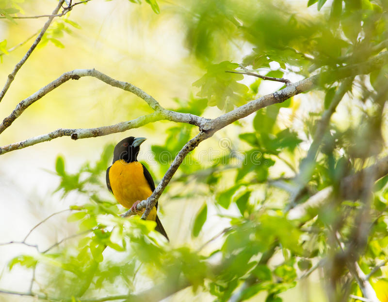 tejedor Oscuro-apoyado en selva tropical fotografía de archivo