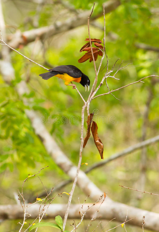 tejedor Oscuro-apoyado que juega en selva tropical fotografía de archivo