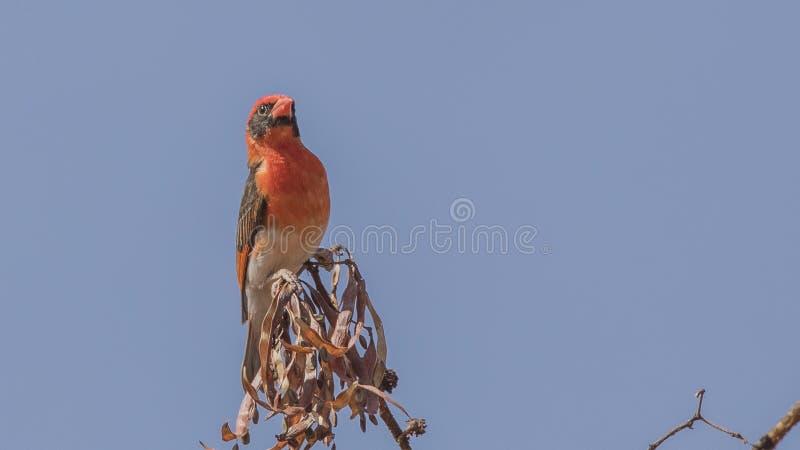 tejedor Rojo-dirigido en arbustos foto de archivo libre de regalías