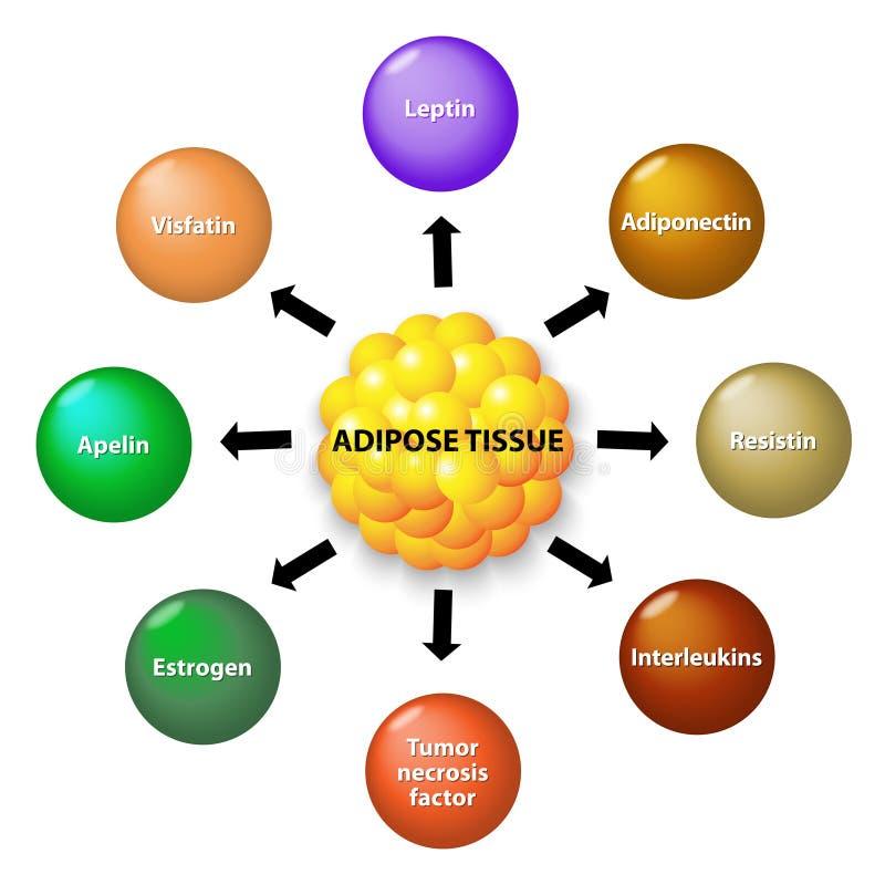 Tejido adiposo y hormonas ilustración del vector