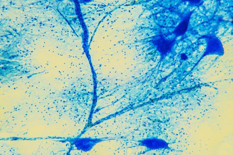 Tejido microscópico de la neurona de la célula foto de archivo