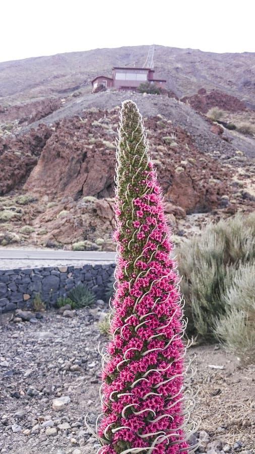 Tejinaste Rojo or Tenerife bugloss `tower of jewels`, mount tei royalty free stock photos