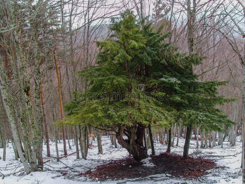 Tejo-árbol imagen de archivo libre de regalías