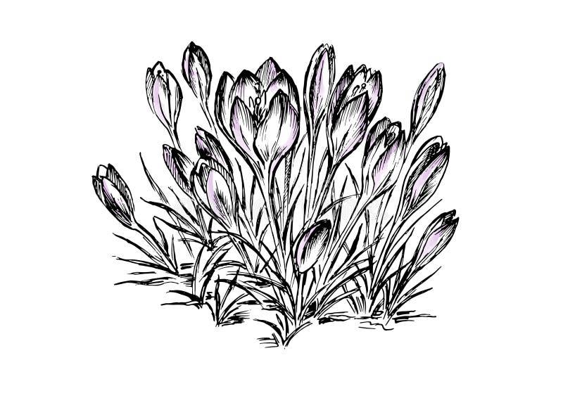 Tekening van de bloem de vectorhand Hand getrokken kruid en voedselkruid Gegraveerd uitstekend aroma Krokus botanische schets vector illustratie