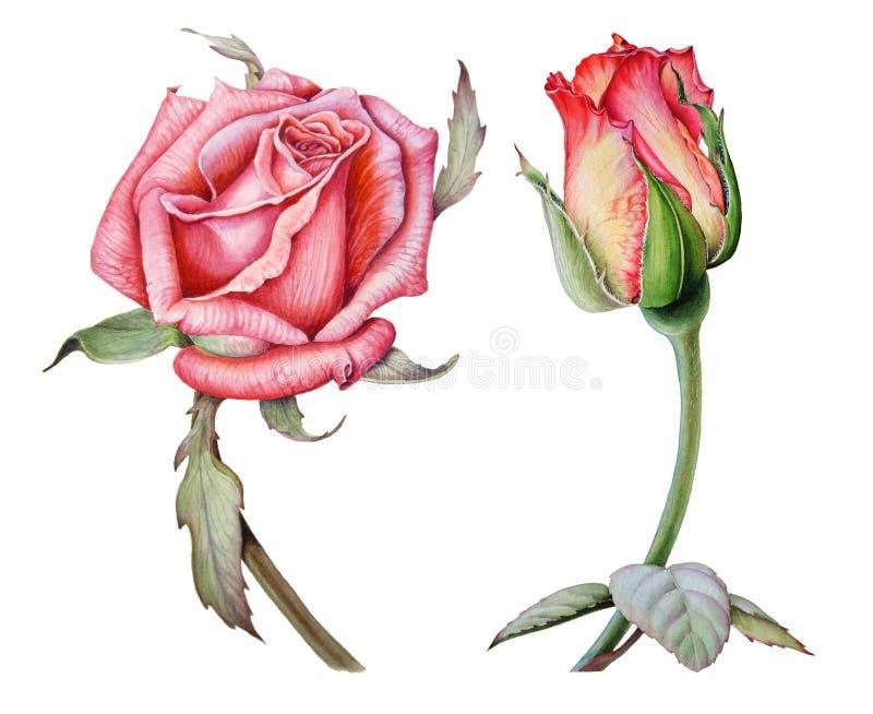 Tekening van de waterkleurenset van twee heldere rozen stock afbeeldingen