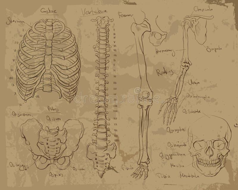 Tekeningen van menselijke anatomie royalty-vrije illustratie