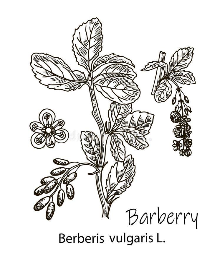 Tekeningsschets van berberistakken op de witte achtergrond wordt geïsoleerd die Botanische illustratie stock afbeelding