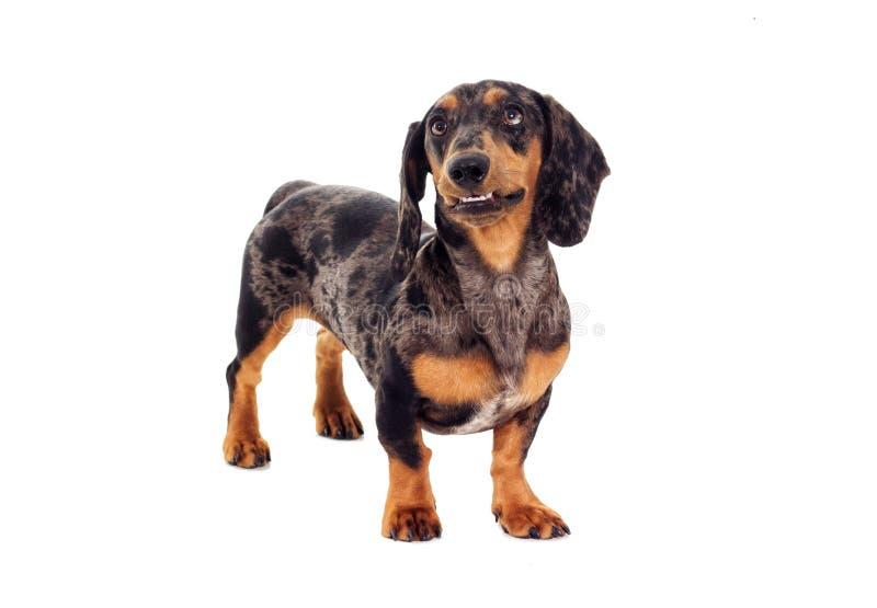 Tekkel de hond stock afbeelding