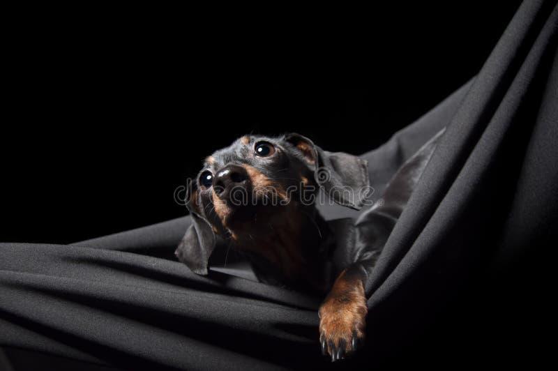 Tekkel in een hangmat royalty-vrije stock foto's