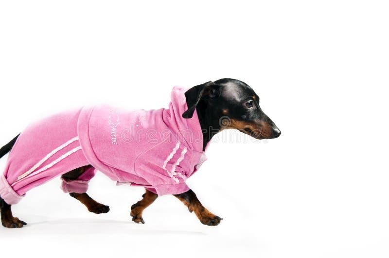 Tekkel in een roze kostuum royalty-vrije stock fotografie