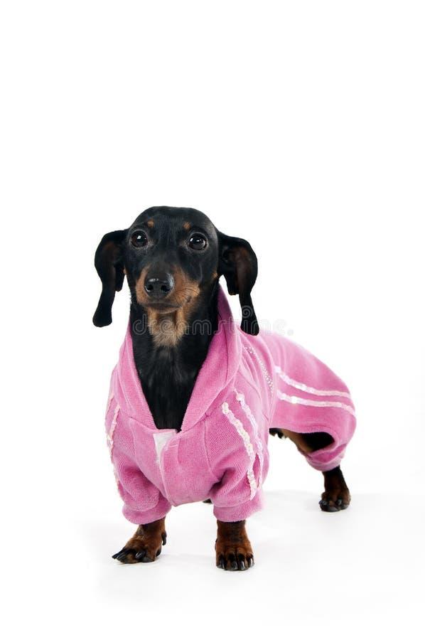 Tekkel in een roze kostuum stock foto