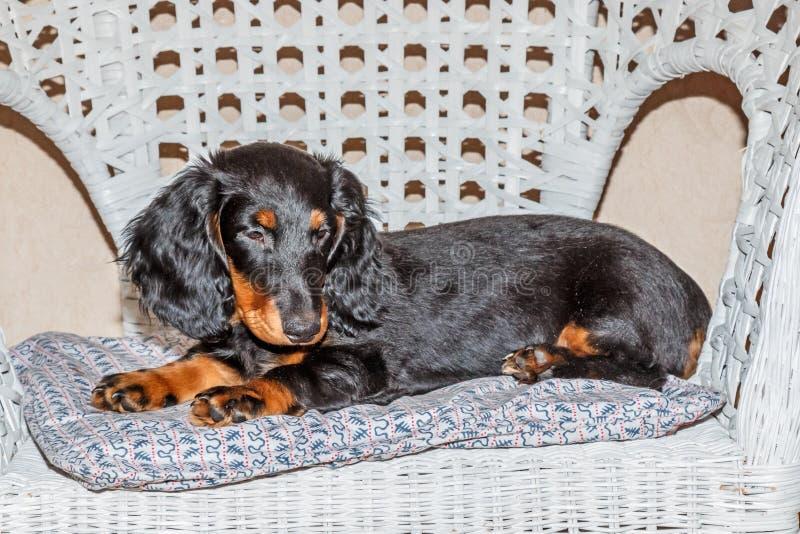 Tekkel standaard longhaired zwart en tan - puppy royalty-vrije stock afbeeldingen