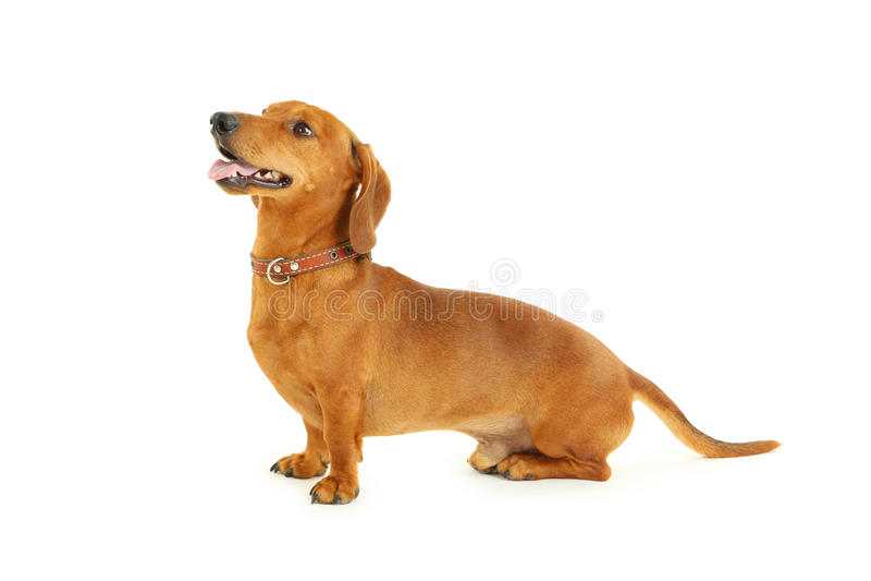 Tekkelhond stock afbeelding