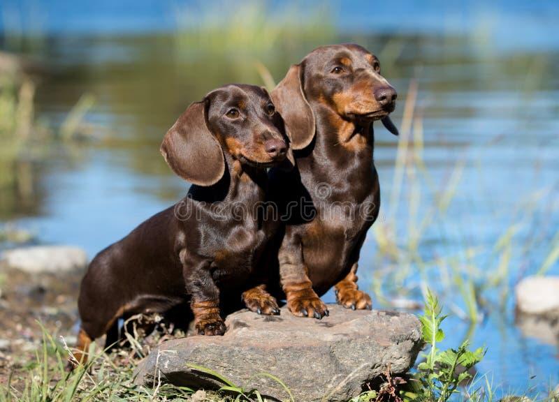 Tekkels twee honden van de rivier royalty-vrije stock afbeeldingen