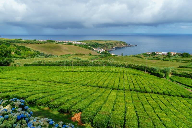 Tekoloni på norrkusten av Sao Miguel Island i Azoresna Lantligt landskap med den växande lantgården för te Härliga vanliga horten royaltyfri bild