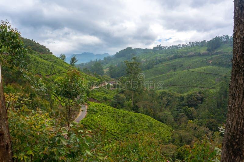 Tekolonier Munnar Kerala, Indien royaltyfri bild