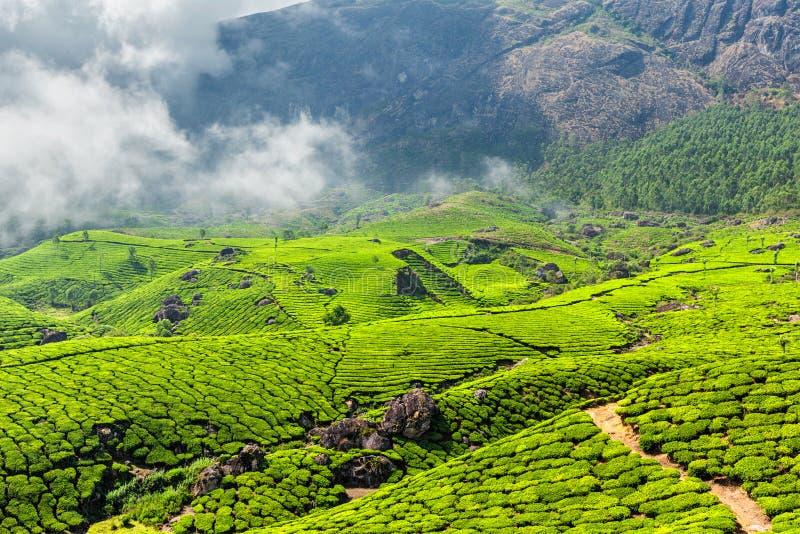 Tekolonier, Munnar, Kerala stat, Indien fotografering för bildbyråer