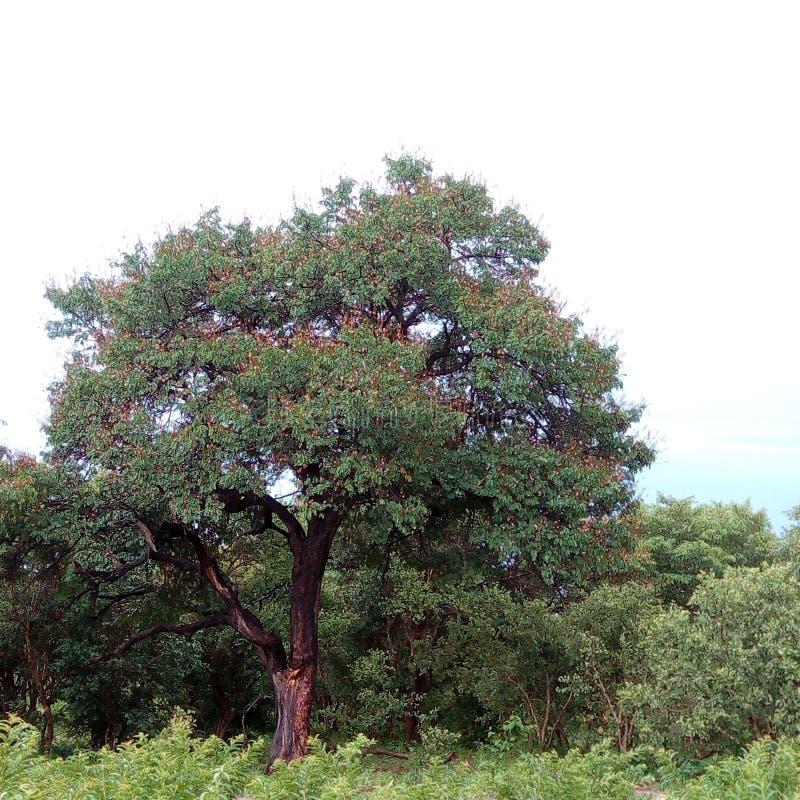 Tekowy drzewo w Chobe fotografia stock