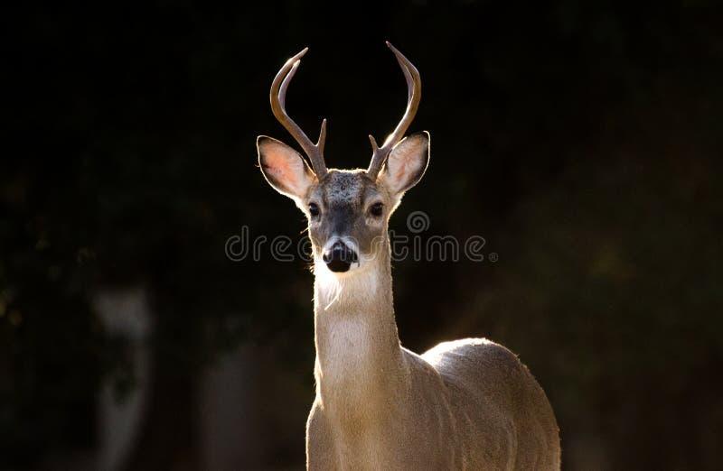 Teksas Biały ogoniasty Jeleni trofeum Sześć punktu poroże samiec fotografia stock