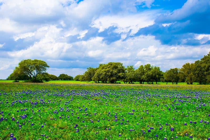 Teksas Bluebonnet Łąkowy pole w wiośnie obraz royalty free