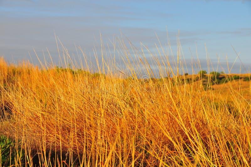 Teksas krajobraz - Złote trawy z Butte zdjęcie stock