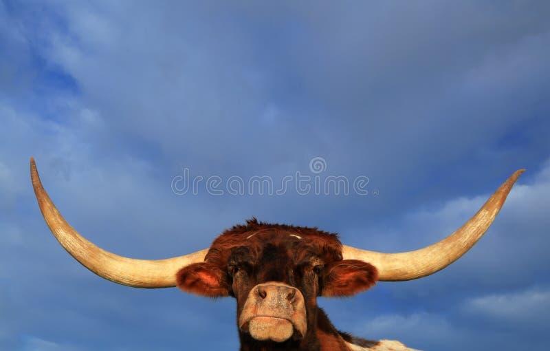 Teksas longhorn fotografia royalty free