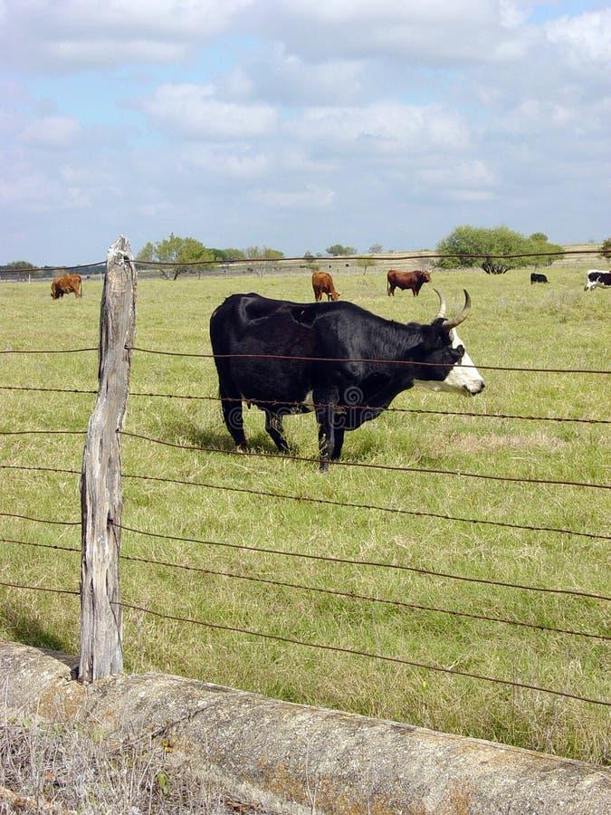 Teksas longhorn obraz royalty free