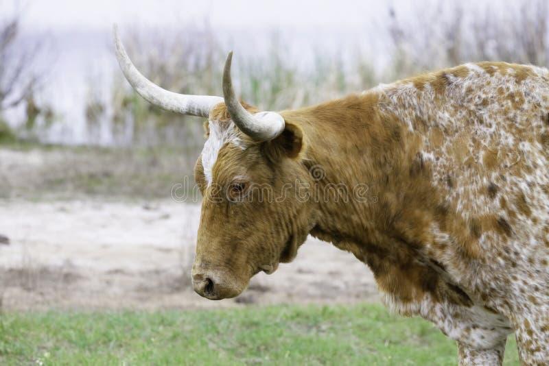Teksas longhornu Up Zamknięta błąkanina linia brzegowa zdjęcia stock
