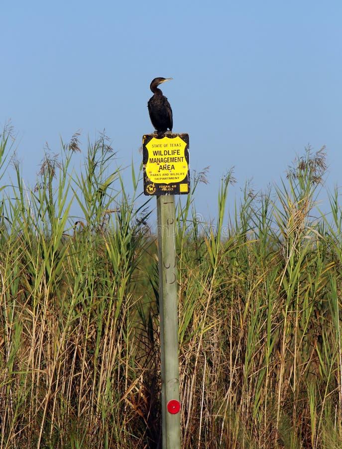 Teksas przyrody kormoran zdjęcia stock