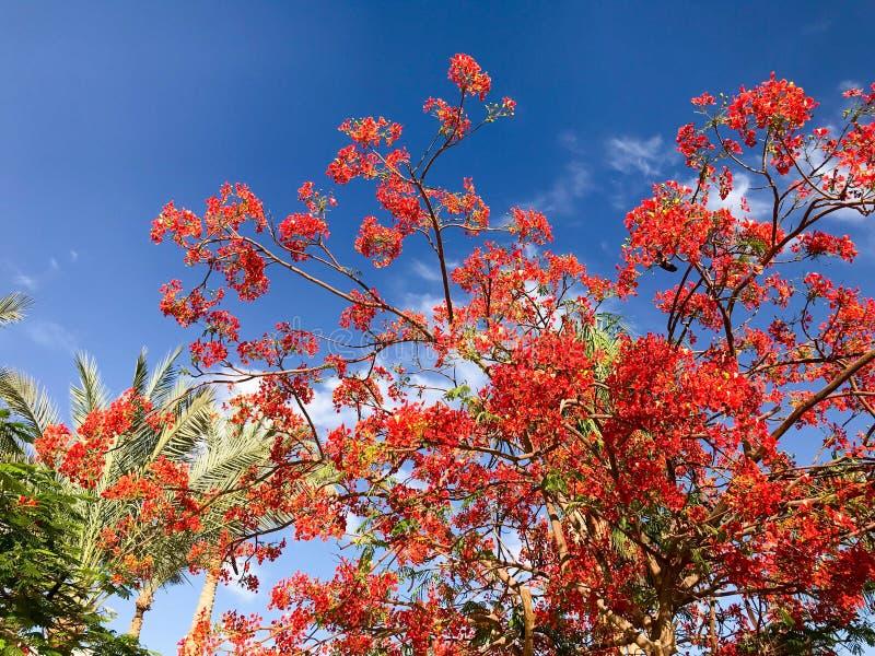Tekstura łupki delonix z czerwieni oferty pięknymi naturalnymi liśćmi z kwiatów płatkami, gałąź tropikalna egzotyczna roślina a zdjęcia royalty free