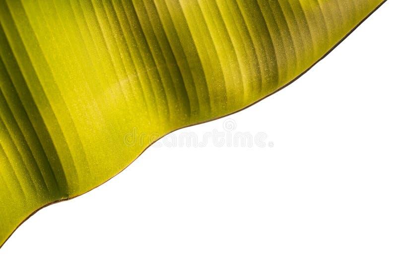Tekstura świeży zielony bananowy liść odizolowywający na bielu Oszczędzony dowcip zdjęcia stock