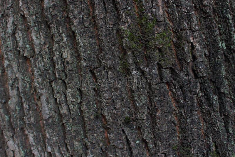 Tekstura barkentyna drzewo zdjęcia royalty free