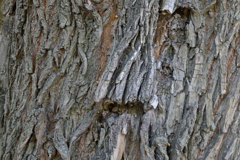 Tekstura barkentyna drzewo fotografia stock