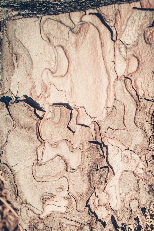Tekstura barkentyna sosna, zaświecająca słońcem obraz stock