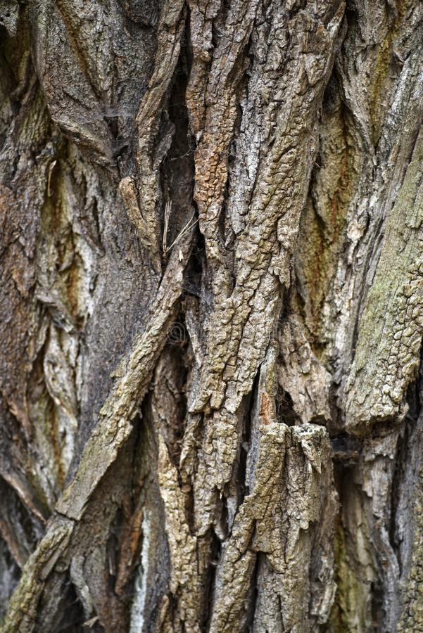 Tekstura barkentyna stary drzewo Tekstura barkentyna stary drzewo fotografia stock