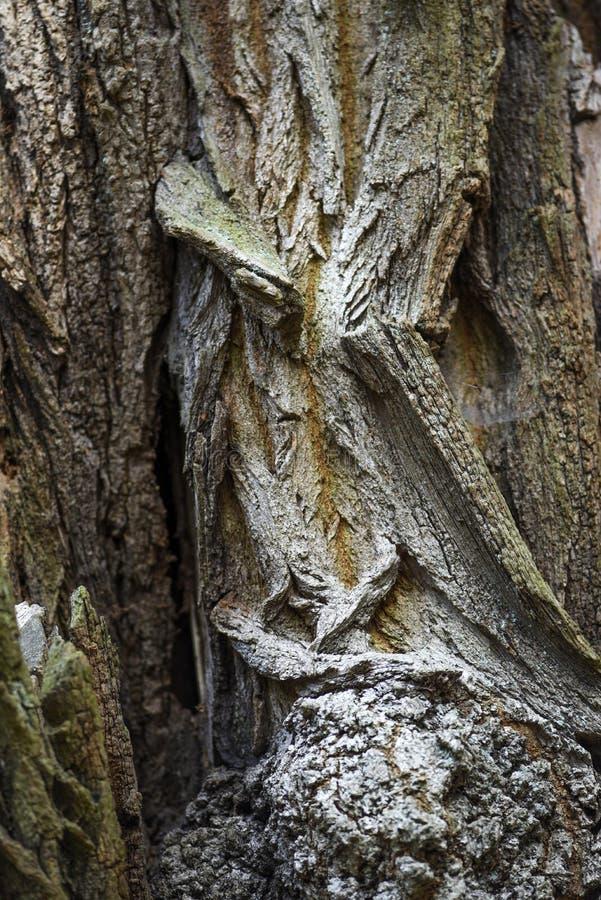 Tekstura barkentyna stary drzewo Tekstura barkentyna stary drzewo obraz royalty free