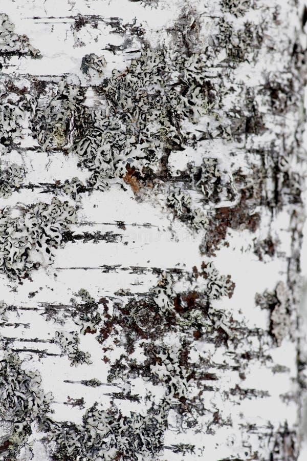 Tekstura białej brzozy drzewna barkentyna obrazy royalty free