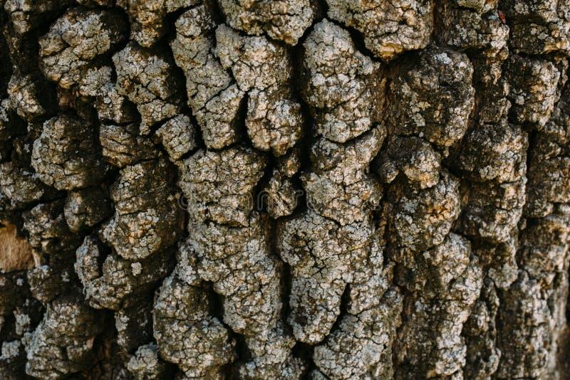 Tekstura brązu dębu drzewna barkentyna Zamyka w górę drzewnej barkentyny jako tło dla projekta zdjęcia royalty free