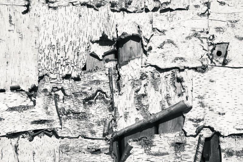 Tekstura brzozy barkentyna fotografia stock
